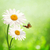 happy meadow abstract summer backgrounds with daisy flowers stock photo © tolokonov