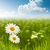 beauty daisy flowers on the meadow environmental backgrounds stock photo © tolokonov