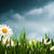 before the rain natural backgrounds with beauty daisy flowers stock photo © tolokonov
