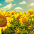 sunflowers under the blue sky beautiful rural scene stock photo © tolokonov