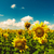 beauty sunflowers on the field natural landscape stock photo © tolokonov