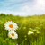 schoonheid · daisy · bloemen · weide · milieu · achtergronden - stockfoto © tolokonov