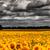 campo · verde · girasoli · nuvoloso · cielo · sera - foto d'archivio © tolokonov