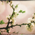sakura flowers abstract asian grungy backgrounds for your desig stock photo © tolokonov