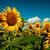 sunflowers field under golden summer sun stock photo © tolokonov