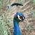 mooie · hoofd · pauw · natuur · schoonheid - stockfoto © tomjac1980