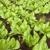 салата · растущий · почвы · весны · природы · зеленый - Сток-фото © trexec