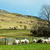 sheep in meadow stock photo © trgowanlock
