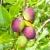 groeiend · pruimen · groene · bladeren · voedsel · vruchten · zomer - stockfoto © trgowanlock