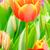 orange and red tulip stock photo © tungphoto