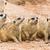 portrait of meerkats stock photo © tungphoto