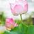 piękna · pachnący · różowy · wody · lilia - zdjęcia stock © tungphoto