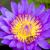 vijver · paars · water · lelie · bloem · bloeien - stockfoto © tungphoto