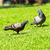piccione · erba · verde · amore · uccello · ritratto · animali - foto d'archivio © tungphoto