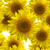 подсолнечника · копия · пространства · небе · природы · фон · желтый - Сток-фото © tungphoto