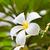 fiore · bianco · bella · gruppo · fiore · albero · tropicali - foto d'archivio © tungphoto