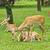 portrait of beautiful deers stock photo © tungphoto