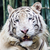 white tiger stock photo © tungphoto