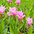 siam tulip field stock photo © tungphoto