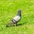 piccione · volo · bella · bianco · ali · libero - foto d'archivio © tungphoto