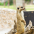 portrait of meerkat stock photo © tungphoto