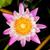 paars · water · lelie · vijver · bloem · natuur - stockfoto © tungphoto