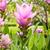 siam tulip flower stock photo © tungphoto