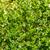 свежие · петрушка · лист · изолированный · белый · фон - Сток-фото © tuulijumala