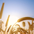пшеницы · солнце · свет · голубой · небе · облака - Сток-фото © tuulijumala