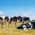 black and white cows grazing in the farmland at menorca spain stock photo © tuulijumala
