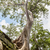 寺 · カンボジア · 風光明媚な · 遺跡 · 巨大な · ツリー - ストックフォト © tuulijumala