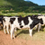 herd of cows grazing on the the field in sunny day stock photo © tuulijumala