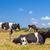 cows grazing in the field in the summer sunlight stock photo © tuulijumala