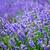 sprinkhaan · lavendel · bloemen · groene · achtergrond - stockfoto © tycoon