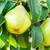 poire · branche · image · printemps - photo stock © tycoon