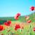 klaprozen · veld · stralen · zon · bloem · voorjaar - stockfoto © tycoon