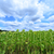 sunflower field stock photo © tycoon
