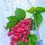 ラズベリー · 葉 · 緑 · 薬 · 赤 · デザート - ストックフォト © tycoon
