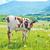 mucca · campo · primo · piano · erba · natura · ritratto - foto d'archivio © tycoon