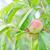 Peach · arbre · plein · fraîches · nouvelle - photo stock © tycoon