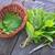 аромат · травяной · свежие · мята · древесины · закат - Сток-фото © tycoon