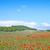 自然 · ケシ · フィールド · 青空 · 春 · 草 - ストックフォト © tycoon