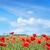 alan · gelincikler · güneş · mavi · gökyüzü · çiçek · gün · batımı - stok fotoğraf © tycoon