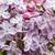 gyönyörű · tavasz · orgona · zöld · levelek · virágok · természet - stock fotó © ultrapro
