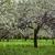 virágzó · gyümölcs · fák · tavasz · park · tájkép - stock fotó © ultrapro