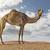 camel in the desert stock photo © unkreatives
