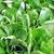 Cornsalad Leaves stock photo © unweit