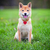 Shiba Inu on the grass stock photo © user_11224430