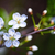 fresh cherry blossom stock photo © user_11224430