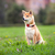 young shiba inu sits in the park stock photo © user_11224430
